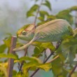 Chameleon on branch — Stock Photo #39638205