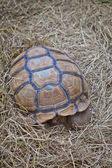 Turtle on dry grass — Стоковое фото