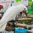 Yellow-crested Cockatoo (Cacatusulphurea) — Stock Photo #39661401