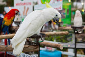 Yellow-crested Cockatoo (Cacatua sulphurea) — Stock Photo