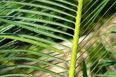 Cycads green leaves. — Stock Photo