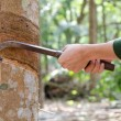 Foto Stock: Tapping latex from rubber tree.