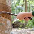 Stockfoto: Tapping latex from rubber tree.