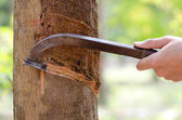 Tapping latex from a rubber tree. — Stock Photo