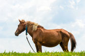 Brown horse on pasture. — Stock Photo