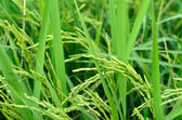 çeltik pirinç alanı — Stok fotoğraf