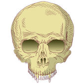 The human skull. — Stock Vector