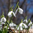 Closeup of snowdrops — Stock Photo