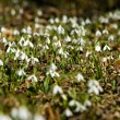Snowdrops in the forest — Stock fotografie