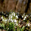 Stock Photo: Snowdrops in the underwood
