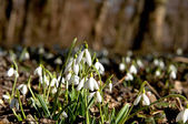 Snowdrops in the underwood — Stock Photo
