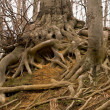 Roots of a tree — Stockfoto