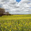 Rape field — Stock Photo #24714893