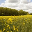 Rape field — Stock fotografie