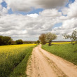 Rape fields with road — Stok fotoğraf