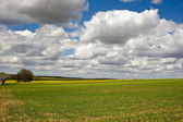 Maisfelder — Stockfoto