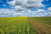 Corn and rape field — Stock Photo