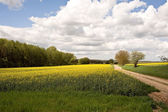 Rape field with road — Stock Photo