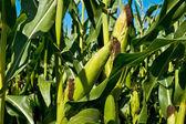 Green corn — Stock Photo