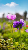 Anemone flowers — Stock Photo