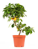 Orange tree in pot isolated on white — Stock Photo