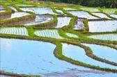 Paddy hill(Oryza sativa) at Bali, Indonesia. — Stock Photo