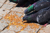 Dove eating bird seed on block pavement — Stock Photo