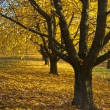 Autumn trees in row with fallen leaves — Stock Photo #13283414