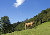 Happy cow on green meadow — Stock Photo