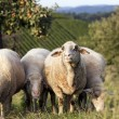 Group of sheep grazing in front of an apple tree — Stock Photo
