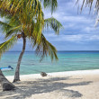 Coconut palm tree on tropical beach in front of ocean — Stock Photo