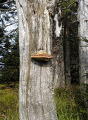 Bracket or shelf fungus — Stock Photo