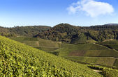 Terraced winegrowing area in verdant landscape. — Stock Photo