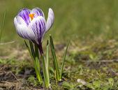 Púrpura y blanco azafrán en pasto — Foto de Stock