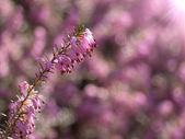 Heather flower with colorful bokeh — Stock Photo