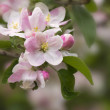 Apple tree spring blossoms - Stock Photo