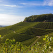 Verdant vineyard landscape and hills in summer — Stock Photo #25765157