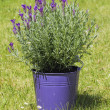 Lavender flowers in purple flowerpot on grass — Stock Photo