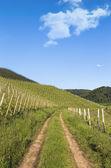 Trail through green vineyard landscape — Stock Photo