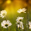 Stock Photo: White daisy flowers lit by sun