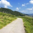 Path through green vineyard landscape — Stock Photo