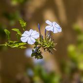 Small blue plumbago flower bloom — Foto Stock