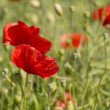 Red poppy flowers — Stock Photo #34656293