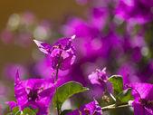 Bougainvillea flower closeup — Stock Photo