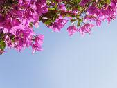 Purple Bougainvillea against blue sky — Foto de Stock