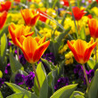 Colorful spring tulips flower bed — Stock Photo
