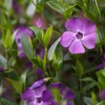 Vinca minor evergreen flower bed — Stock Photo #44952053