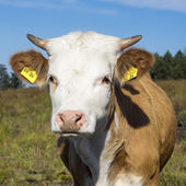 Portrait of a cow on a green meadow at sunny day  — Stock Photo