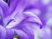 Purple bell flower campanula closeup  — ストック写真