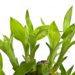 A lucky bamboo plant — Stock Photo